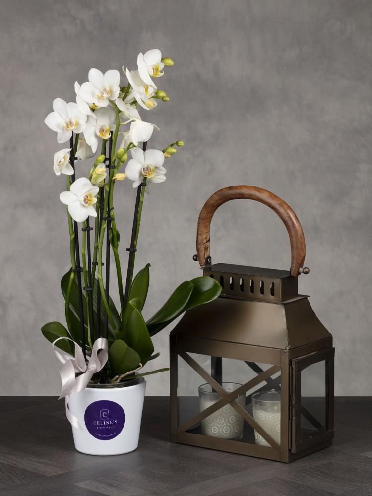 Phalaenopsis White Orchid & Lantern Gift Set