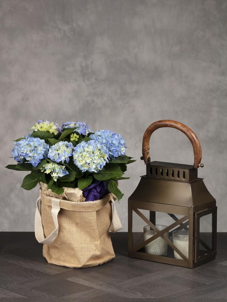 Hydrangea Plant & Lantern